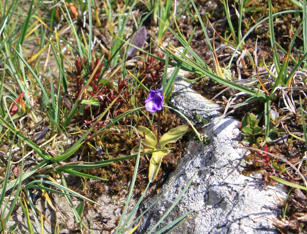 frühlings enzian tirol naturschutz